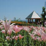 6月の置賜 飯豊町 どんでん平ゆり園のゆり畑