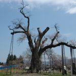 4月の置賜 白鷹町 釜の越桜