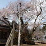 4月の置賜 白鷹町の薬師桜