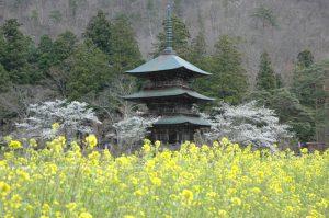 安久津八幡宮の三重塔と菜の花と桜