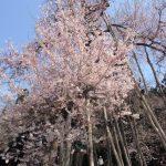 4月の置賜 樹齢1200年の長井市伊佐沢の久保桜