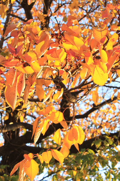 暮れゆく秋の太陽のような葉