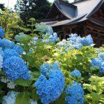 7月 紫陽花 米沢市・万世・堂森・善光寺