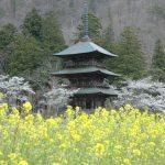 5月の置賜 高畠町 安久津八幡宮の三重塔と菜の花と桜