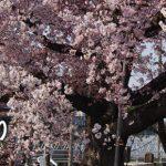 おきたまの桜巡り《川西町編》