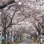 おきたまの桜巡り《高畠町編》