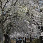 ラ・ラ・ラ、サイクリング!桜のトンネルで春を満喫。【高畠町 まほろばの緑道】