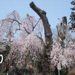 おきたまの桜巡り《長井市編》