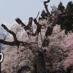 おきたまの桜巡り《白鷹町編》