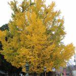 11月 熊野神社の大イチョウ〜黄金の風〜