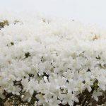 5月 初夏の淡雪 ~長井市・白つつじ公園~