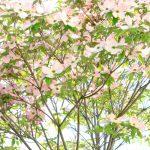 置賜、春爛漫