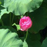 7月 上杉神社の蓮の花