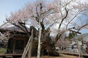 白鷹町の薬師桜