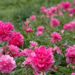 6月の置賜 南陽市諏訪神社のしゃくやく祭り