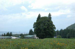 米沢市李山(すももやま)のトトロの森とベニバナ畑