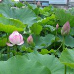 7月の置賜 米沢市上杉公園の蓮の花