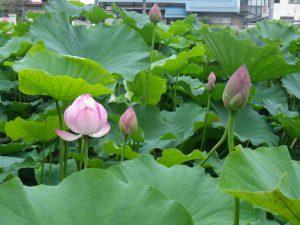 米沢市上杉公園の蓮の花