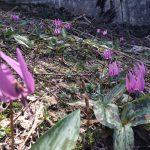 5月の置賜 米沢市 愛宕山のカタクリの花