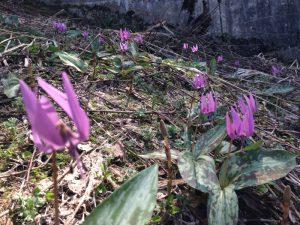 愛宕山のカタクリの花