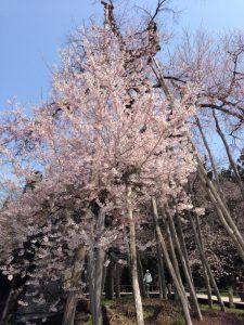 樹齢1200年の長井市伊佐沢の久保桜