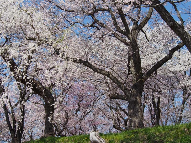 烏帽子山 桜