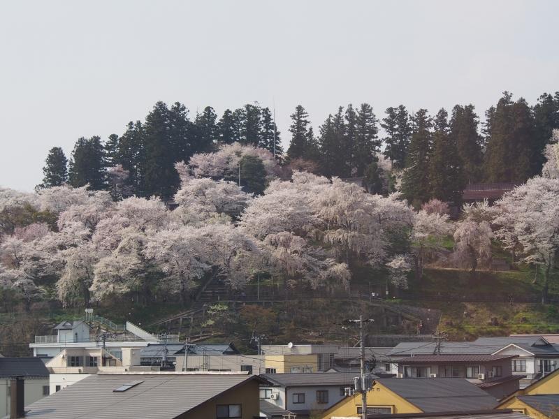 烏帽子山千本桜