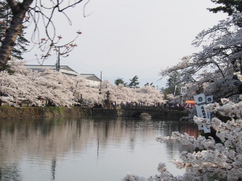 上杉神社のさくら