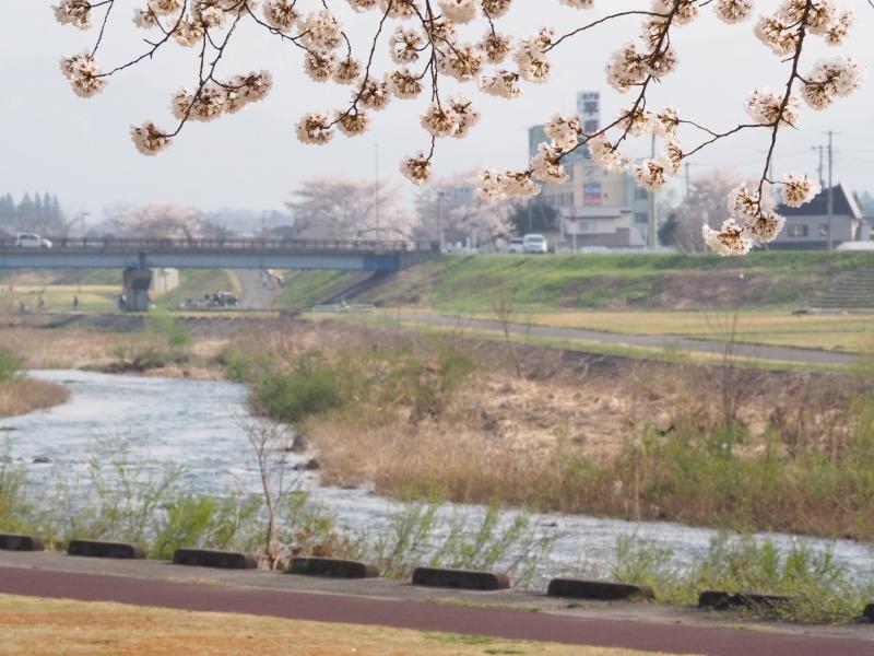 松川河川敷のさくら