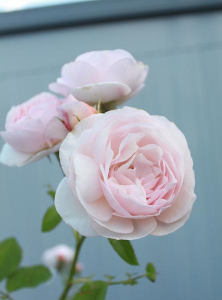 置賜の花 バラ