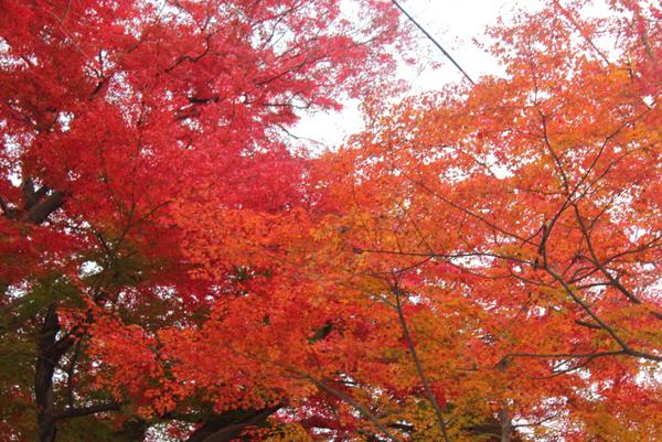 南陽の烏帽子山公園の紅葉