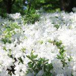白つつじが最高にきれいな季節_長井
