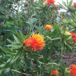 7月 紅花