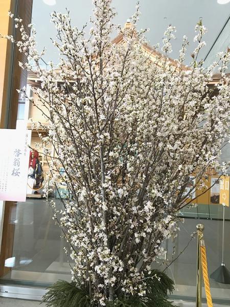 米沢雪まつりの啓翁桜