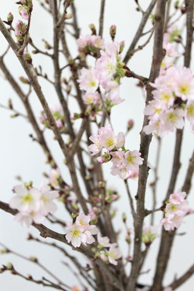 啓翁桜 5日後 開花