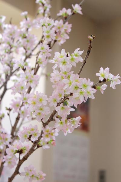 啓翁桜 8日後 満開