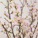 真冬に桜を咲かせましょう〜高畠の啓翁桜