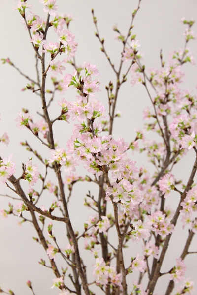 啓翁桜 8日後 満開3