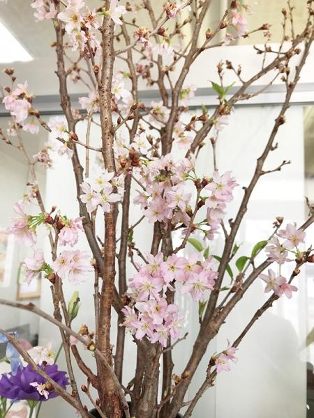 啓翁桜 一か月半後
